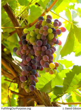grape-vine-tagged